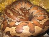 Продаётся короткохвостый пёстрый питон Python curtus