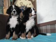 Бернского зенненхунда,  щенки