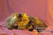 Питомник Нейтон Умай продает персидского котика