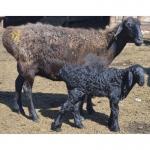 продам курдючных овец