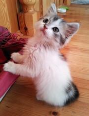 Маленький красивый пушистый котенок (девочка) в добрые руки