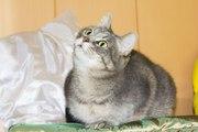 Глафира - кошка с характером дамы 18-го века ищет дом!
