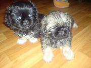 Продам щенков пекинеса(миленькие)