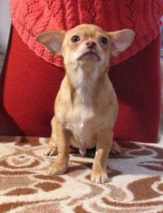 Продаётся  щенок чихуа